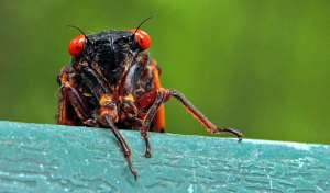 """Hello, friend. Have you heard the Good News? The time has come to accept Cicada Jesus as your personal bug-lord and savior."" Photo from NorthJersey.com."